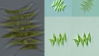 Scenedesmus acuminatus - zelená řasa
